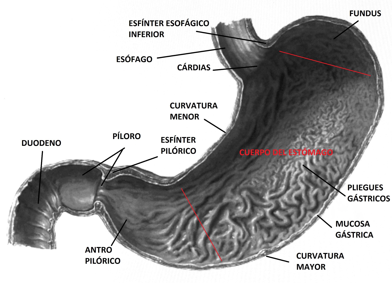 Qué debe saber el osteópata acerca de: el estómago | Carlosteopata