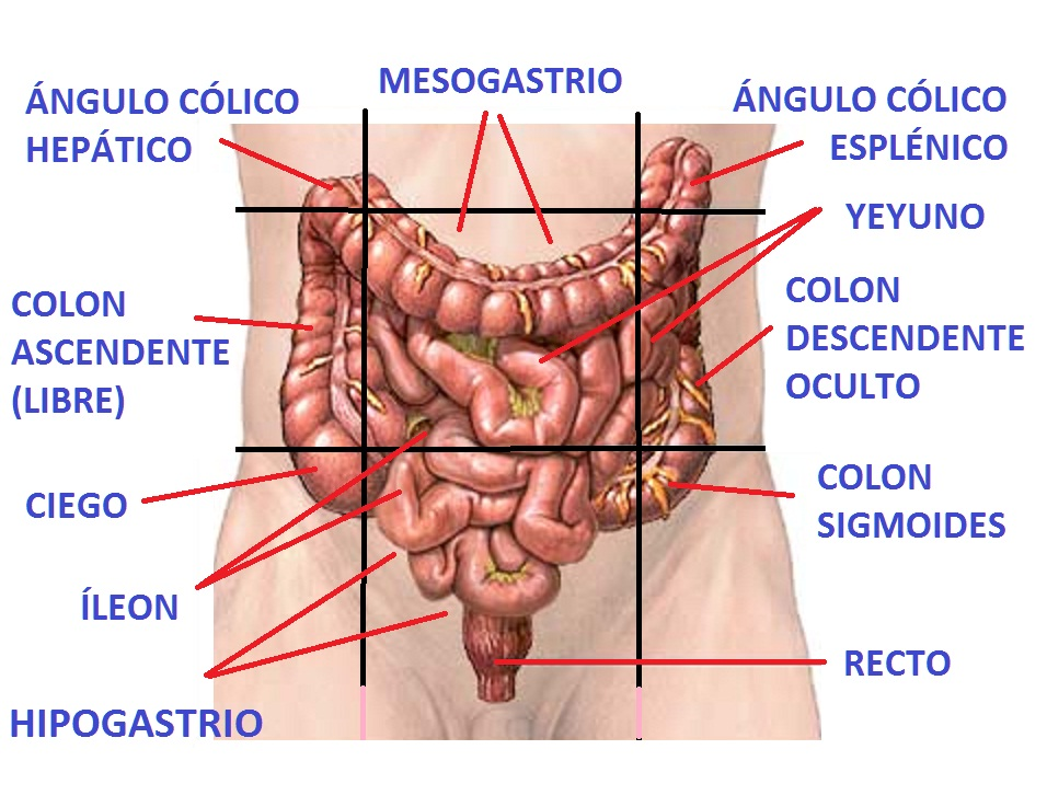 mesenterio | Carlosteopata