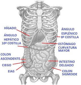 Abdomen_Anatomy